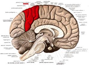 brain-anatomy-wc