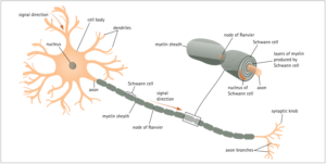 neuron-with-myelin-sheath