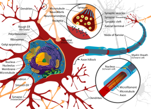 complete-neuron-cell-diagram-wc
