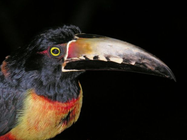 Belize V31TP Tourist attractions spot Collared Aracari Toucan, taken at DuPlooy's Jungle Lodge.