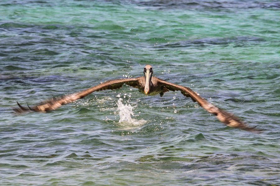 Bonaire Island PJ4/K1XX DX News Pelican at Washington Slagbaai National Park.