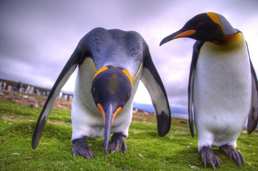 Falkland Islands VP8RHF King Penguins.