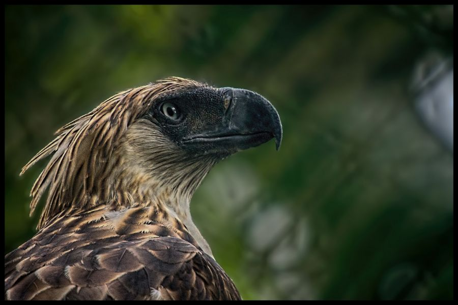 Philippines DU1WQY DX News The Philippine Eagle (Pithecophaga jefferyi), also known as the Monkey-eating Eagle.