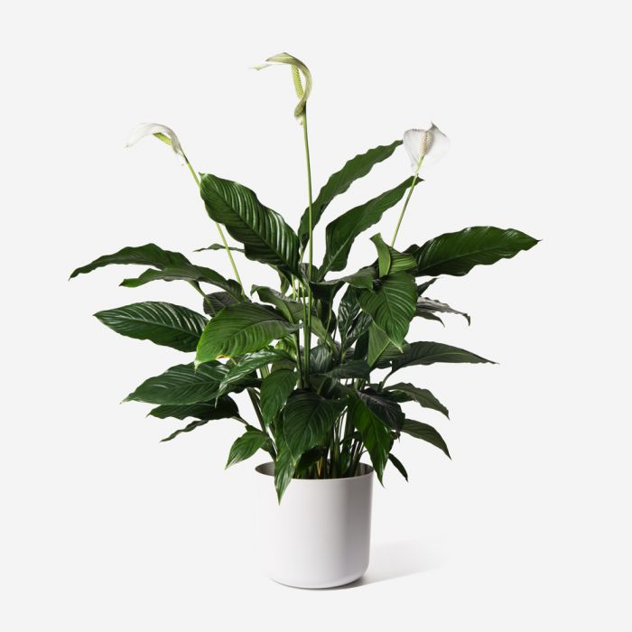 Large Peace Lily Wellness Plants Collection Flowerbx Uk