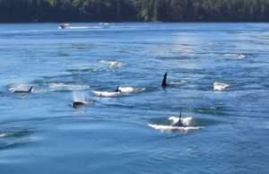 Galliano orcas