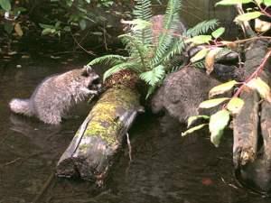 Galliano raccoons