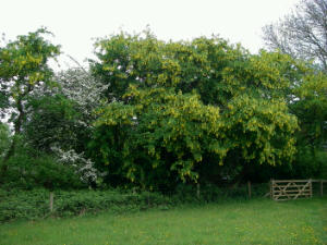 Mature Laburnum in full flower in a hedge at the Trust
