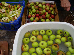 Lots of Apples