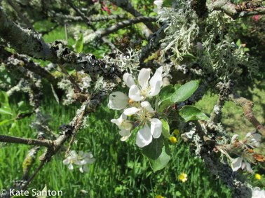 ancient-apple-trees