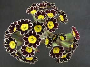 Polyanthus ('silver lace')