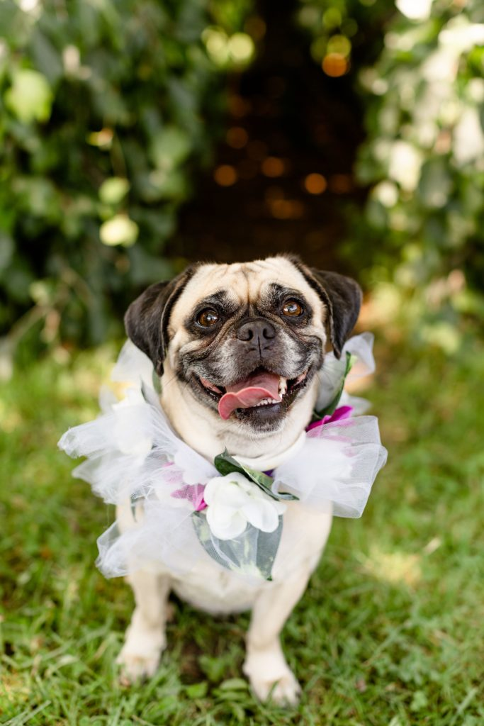 Cute dog wearing a floral collar during a wedding. Hire a dog sitter for your wedding day to make sure your fur baby is taken care of.