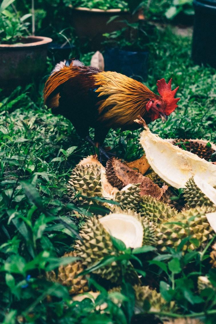Durian Ayam - Penang Editorial Photographer