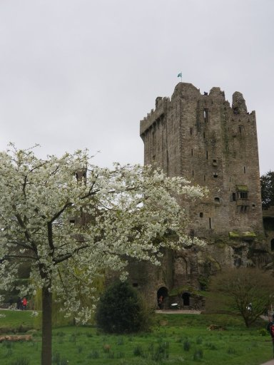 Blarney Castle with a flowering white tree in front of it