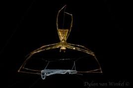 Deinopis sp. (net-casting spider), dorsal