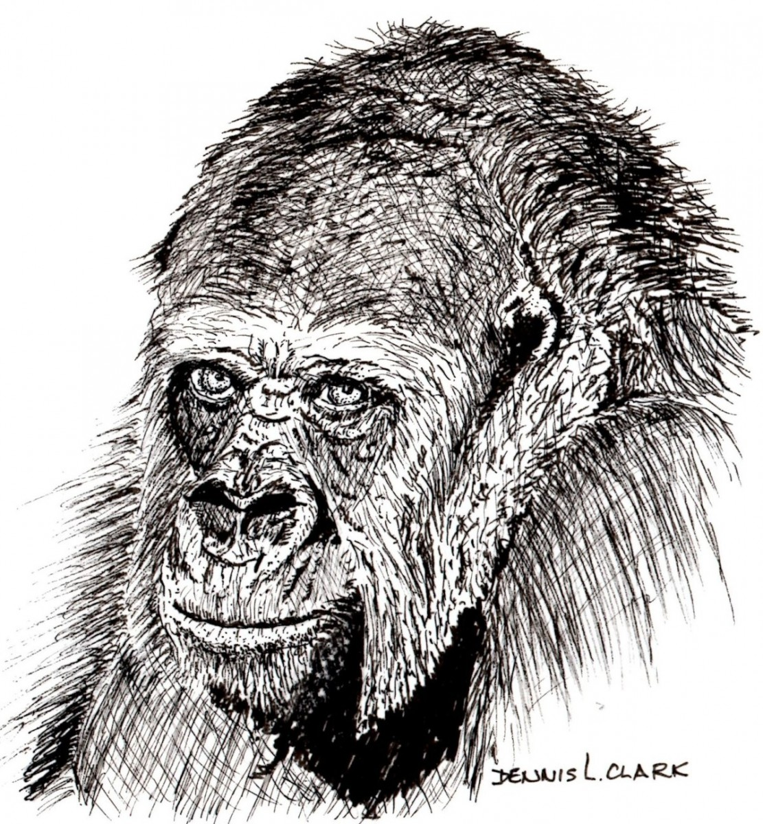 How To Draw A Gorilla Portrait In Pen And Ink