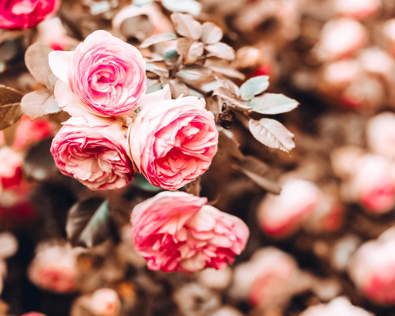 Roses in San Jose