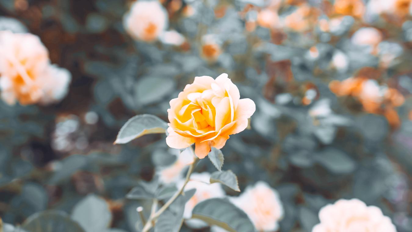 Yellow flower at the International Rose Test Garden