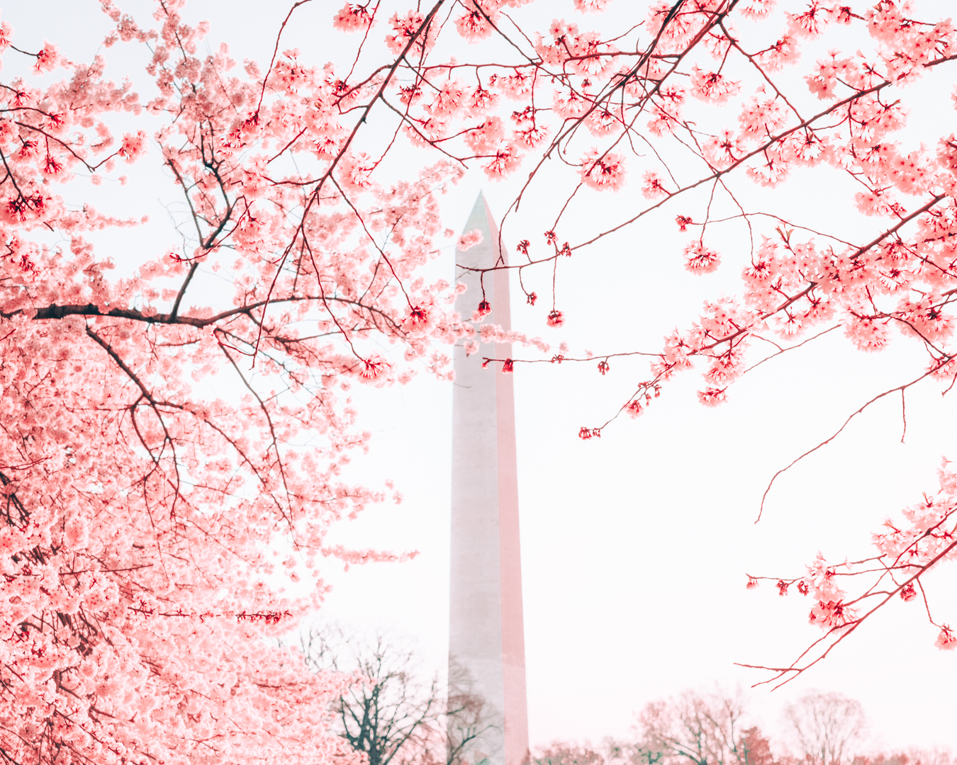Blossoms at the Washington Monument