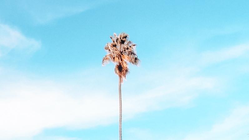 Palm tree at San Jose State University