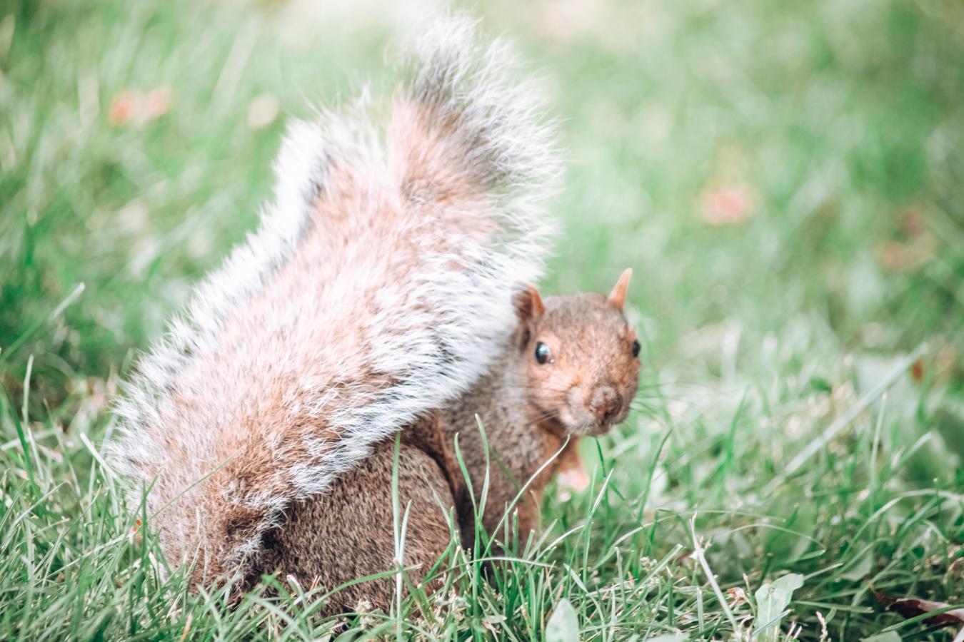 Squirrel in La Fontaine Park