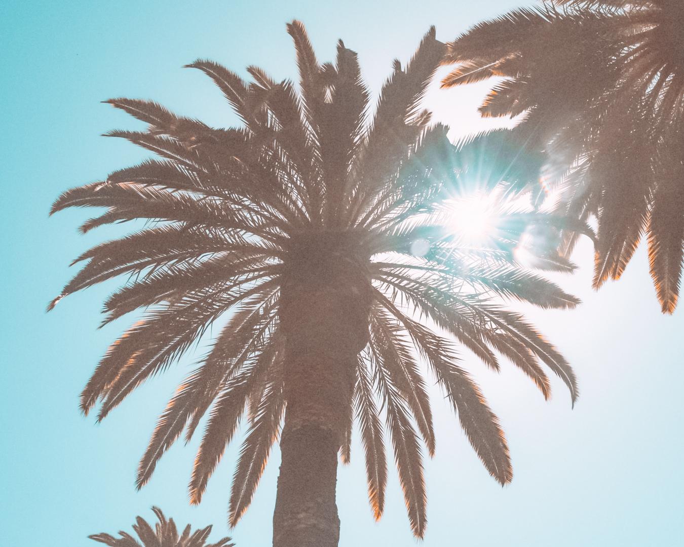 Palm trees in San Jose