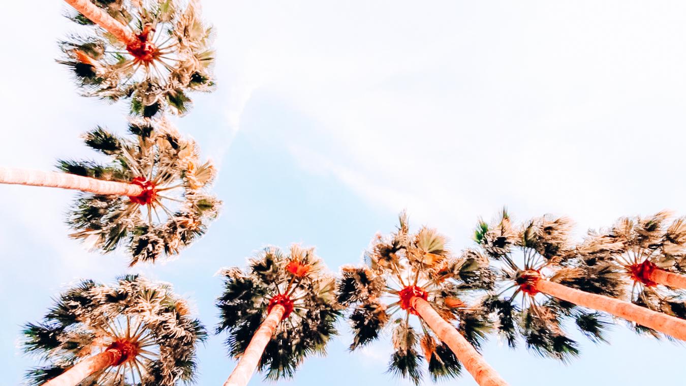 Palm trees in Phoenix