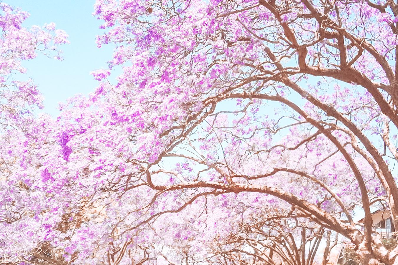 Purple flowers in Sydney