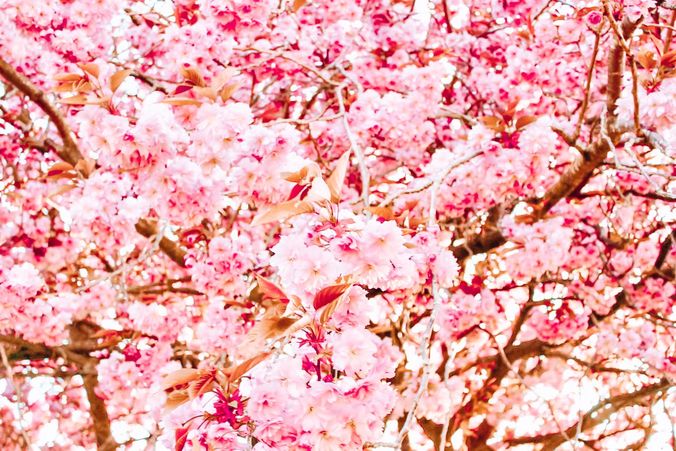 Blossoms at the Glasgow Botanic Gardens