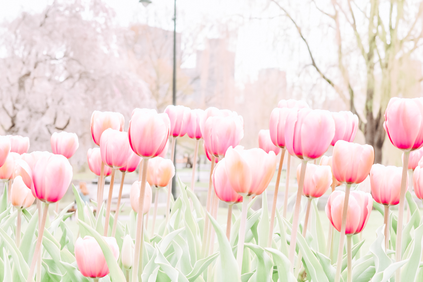 Instagrammable tulips at the Boston Public Garden