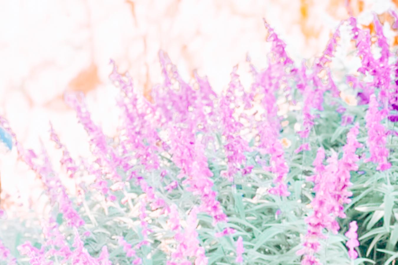 Purple flowers at the Mount Lofty Botanic Garden
