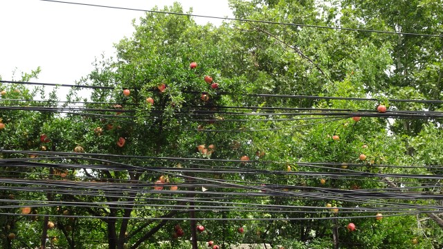 Persimmon Trees; DSC00151 © DY of jtdytravels