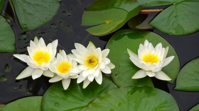 Water Lilies; DSC00312 © DY of jtdytravels