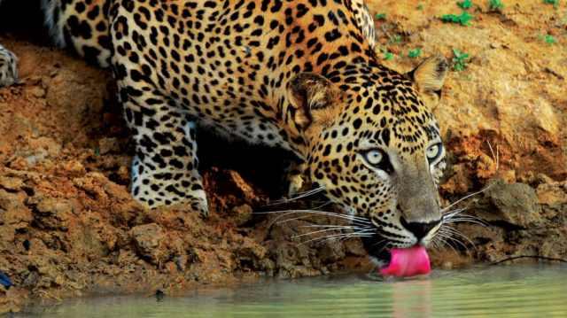 Sri-Lanka-tourism-images---Yala---National-Park---Leopard-01-(1)