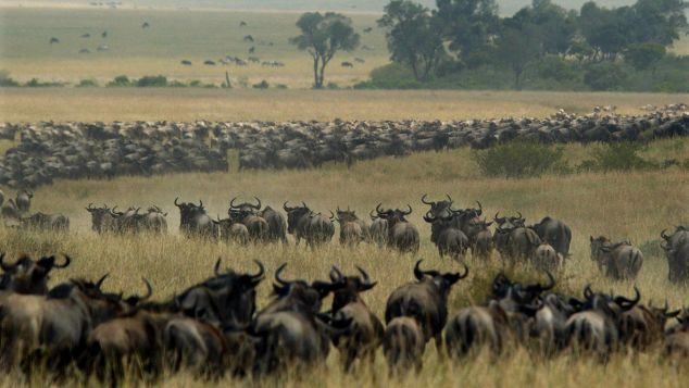 """The Migration"" in action: thousands of wildebeest wind through the Masai Mara in search of fresh grass and water."
