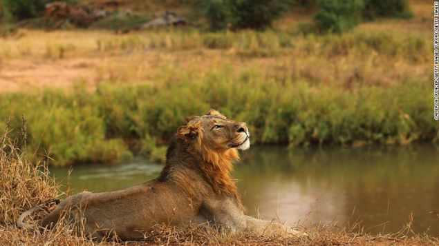 A lion on the banks of the Luvuvhu river in Kruger National Park, South Africa.