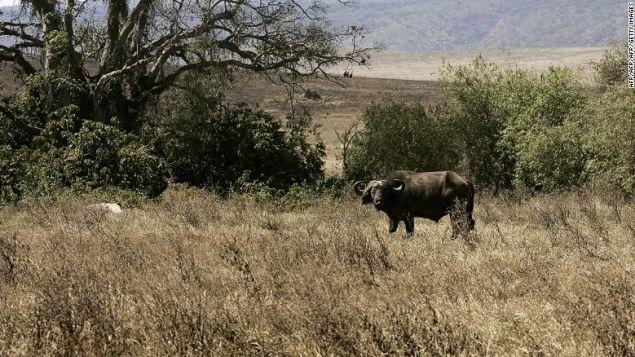 A buffalo eats grass at the Ngorongoro National Park in northern Tanzania.