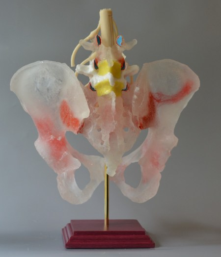 A pelvic spine model demonstrating the dynamic motion of the sacroiliac joints and pubic symphysis