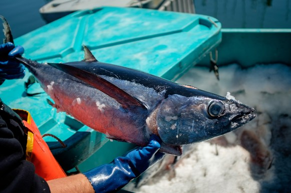 Fresh Albacore Tuna is a favorite up and down the Oregon Coast.
