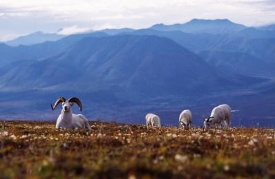 Dall sheep denali