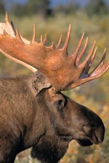 Moose RF01_023