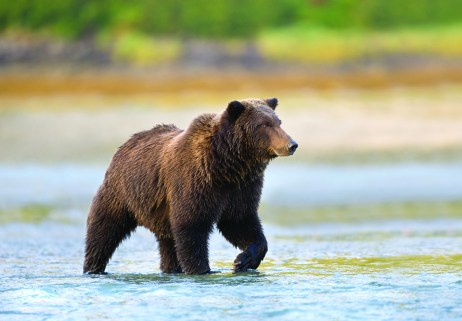 Coastal Brown Bear ( Ursus arctos ) in a river during salmon spawning run Katmai National Park, Alaska MORE BEARS[url=http://www.istockphoto.com/file_search.php?action=file&lightboxID=6989214] [IMG]http://www.istockphoto.com//file_thumbview_approve/10557169/1/istockphoto_10557169-grizzly-bear-cub.jpg[/IMG] [IMG]http://www.istockphoto.com//file_thumbview_approve/10608372/1/istockphoto_10608372-grizzly-bear-with-salmon.jpg[/IMG] [IMG]http://www.istockphoto.com//file_thumbview_approve/10573522/1/istockphoto_10573522-grizzly-bear-portrait.jpg[/IMG] [IMG]http://www.istockphoto.com//file_thumbview_approve/7736383/1/istockphoto_7736383-grizzly-bear-in-autumn-meadow.jpg[/IMG] [IMG]http://www.istockphoto.com//file_thumbview_approve/10656016/1/istockphoto_10656016-grizzly-bear.jpg[/IMG] [IMG]http://www.istockphoto.com//file_thumbview_approve/12601164/1/istockphoto_12601164-brown-bear-with-pink-salmon.jpg[/IMG] [/URL] MORE MAMMALS[url=http://www.istockphoto.com/file_search.php?action=file&lightboxID=4044667] [IMG]http://www.istockphoto.com//file_thumbview_approve/7688853/1/istockphoto_7688853-bull-moose-portrait-and-autumn-foliage.jpg[/IMG] [IMG]http://www.istockphoto.com//file_thumbview_approve/10557169/1/istockphoto_10557169-grizzly-bear-cub.jpg[/IMG] [IMG]http://www.istockphoto.com//file_thumbview_approve/5812523/1/istockphoto_5812523-deer-buck-in-winter-snow.jpg[/IMG] [/URL]