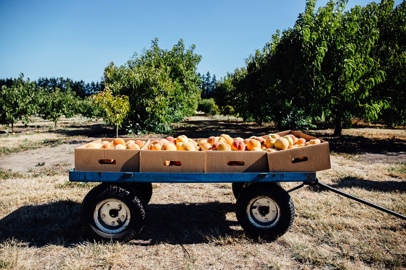 August 2016, wagon filled with peaches at Jossy Farm, Hillsboro, OR.