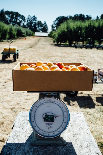 August 2016, peaches being weighed at Jossy Farm, Hillsboro, OR.