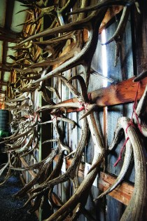 Elk sheds haning in the barn.