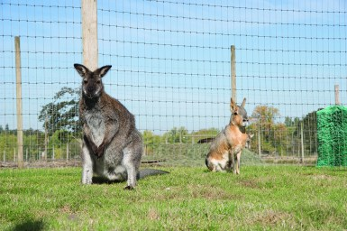 Wallaby and Patagonian Cavy posing for the camera.