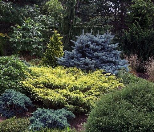 confier plants