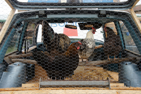 benedetto-bufalino-transforms-a-1970-police-car-into-a-chicken-coop-07