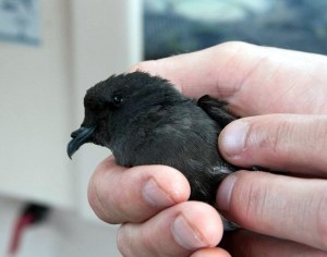 New-Zealand-Storm-Petrel-C-Gaskin-small