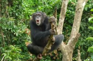 Foto: Tacugama Chimpanzee Sanctuary i Sierra Leone