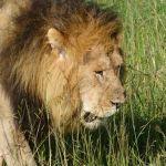 Elvis er vild med løver